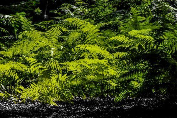 Lush ferns in Hampshire's Bolderwood Forest