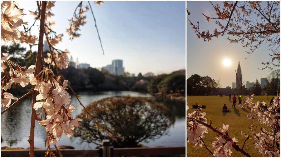 Cherry blossoms at Shinjuku Gyoen National Garden in Tokyo