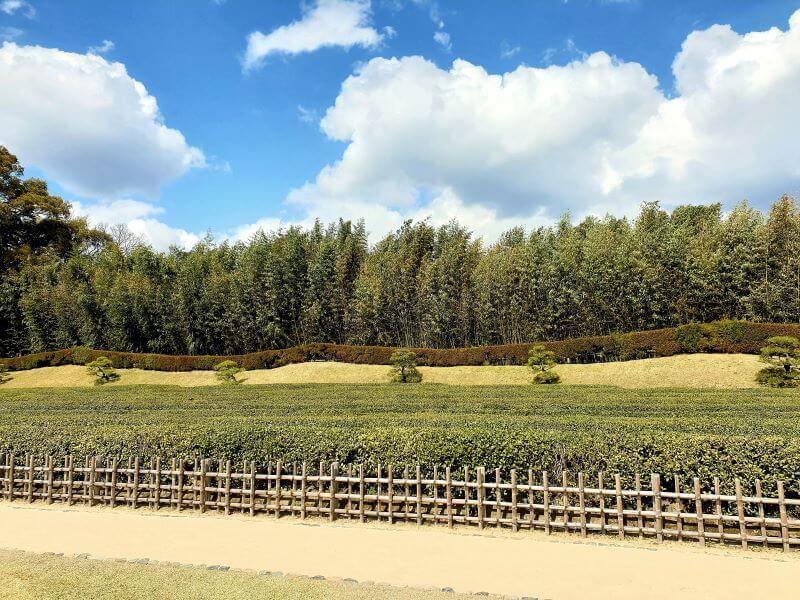 Tea plantation in Koraku-en garden in Okayama, Japan