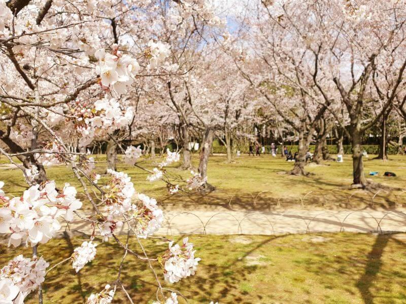 Gorgeous cherry blossoms during Japan's sakura season, in the Korakuen Garden in Okayama.