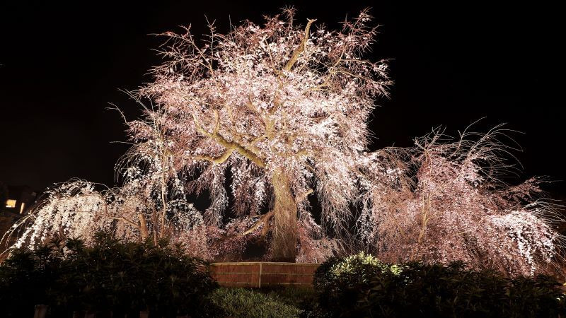 Lit up cherry blossom tree at night, in Maryuama Park in Kyoto's Gion district