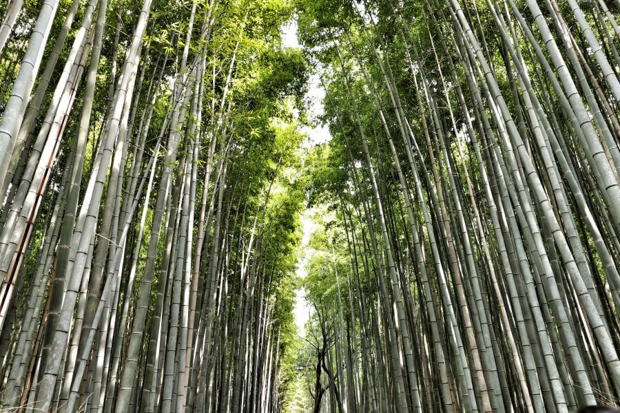 The famous bamboo forest in Kyoto's Arashiyama district, Japan