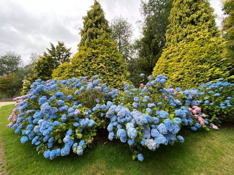 Hydrangeas in bloom at Nymans National Trust