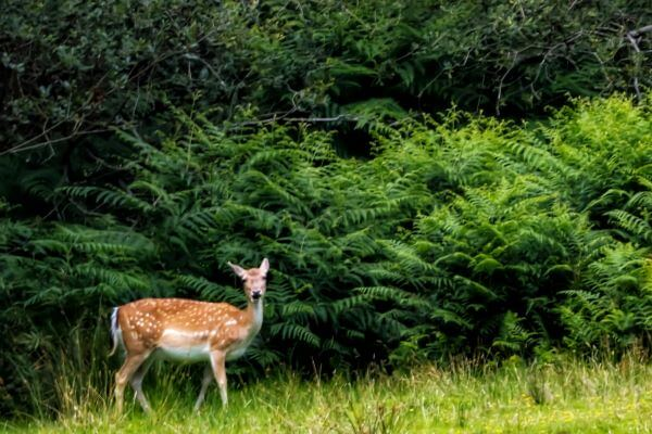 Fallow deer sighting at Bolderwood Sanctuary in New Forest