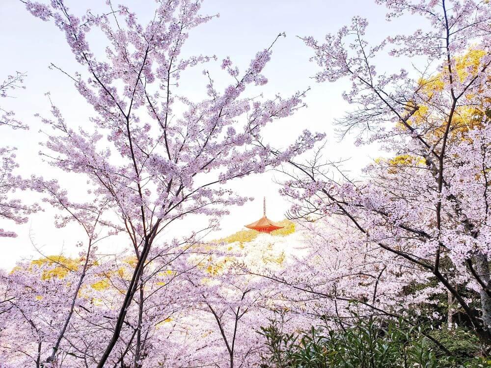 Cherry blossoms at Momobayashi park and a red pagoda on Miyajima island, Japan