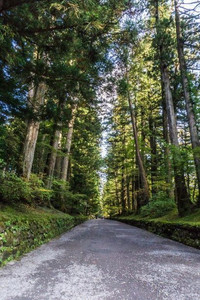 Forest of pine trees leading to Nikko temple complex