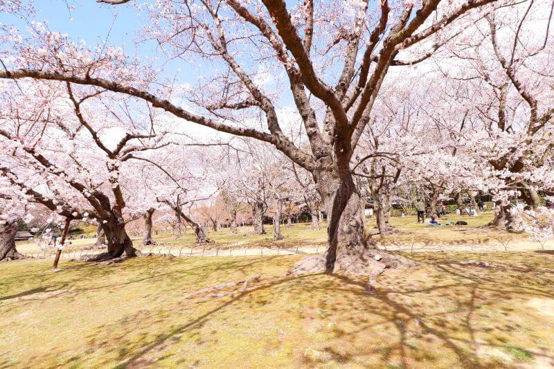 Cherry blossom orchard during sakura season in Korakuen garden, Okayama Japan
