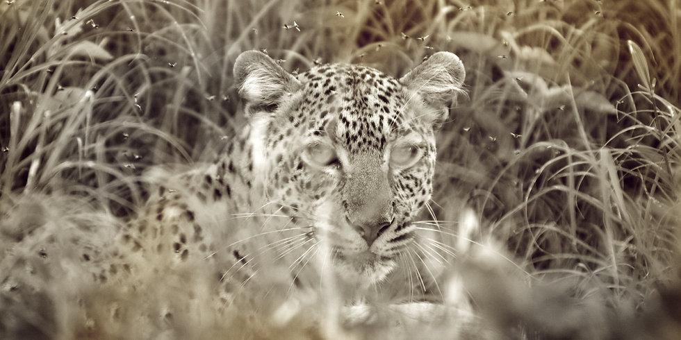 8. Leopard- seng- safari- picture- boma