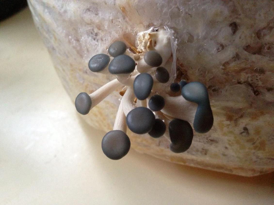 Blue Oyster Pinheads