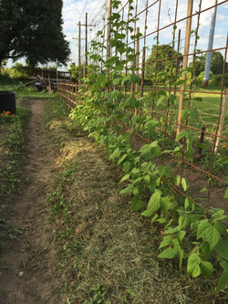keep on growing beans!