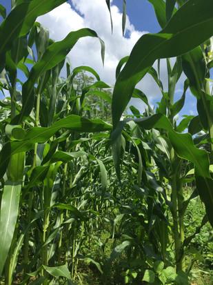 A view through the corn