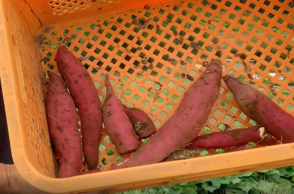 紅はるか:一本の蔓から約6本、初収穫