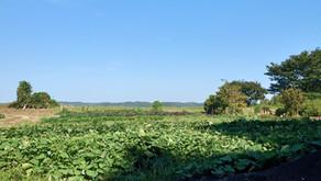 【畑通信】ニンジンの葉っぱを食べる「キアゲハ」とその仲間たち~2021.08.27~
