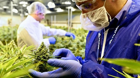 Tilray-grows-capacity-at-North-America-s-only-GMP-cannabis-facility_strict_xxl.jpg