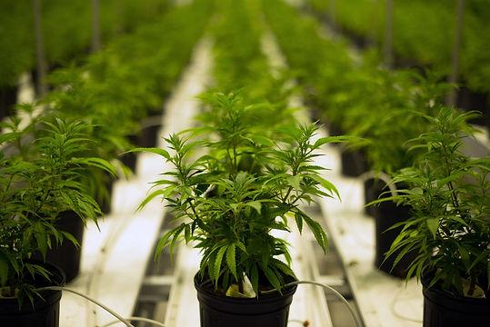 n-cannabis-c-20160627.jpg