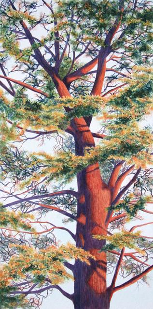 Late Day Cedar