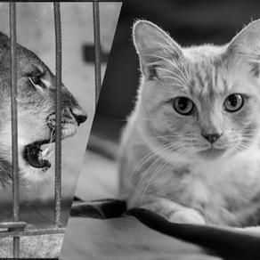 Rabo de leão ou cabeça de gato?