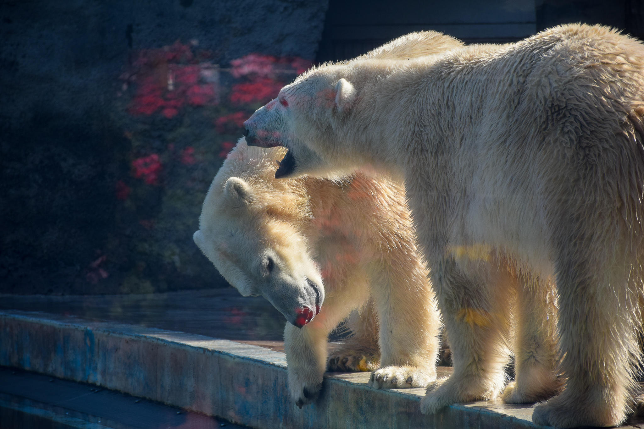 Bears - Zoo Budapest -  Switzerland Family Travel Blog