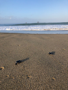 Baby turtles being released back into the ocean