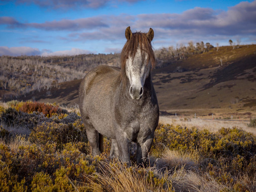 New To The Store - Brumby 2021 Calendars
