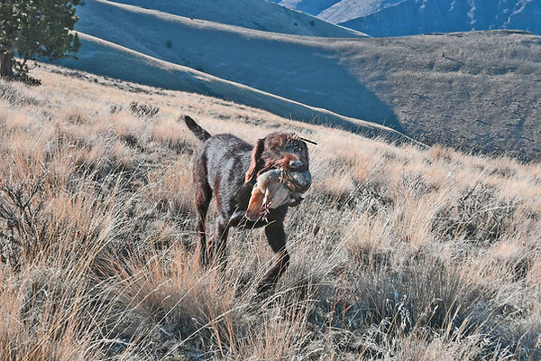 Chukar Retrieve.jpg