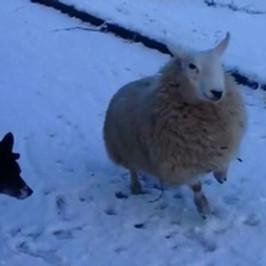 LIVE / Mouton et chien  ムートン エ シアン