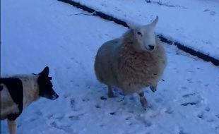 LIVE  Mouton et chien