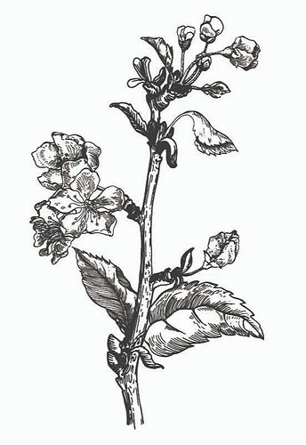 shutterstock vintage ink apple blossom c