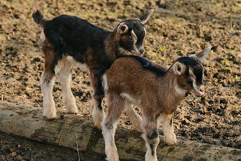 goat2.jpeg