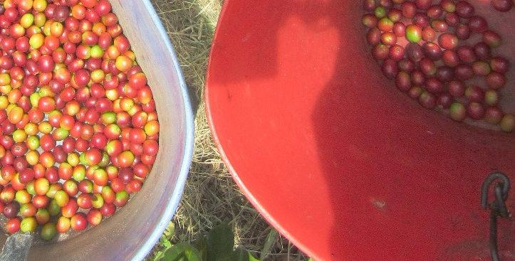1# Organic Mexican-Chiapas