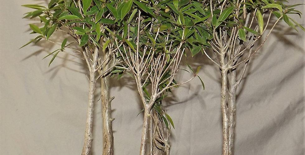 ficus nerifolia#498