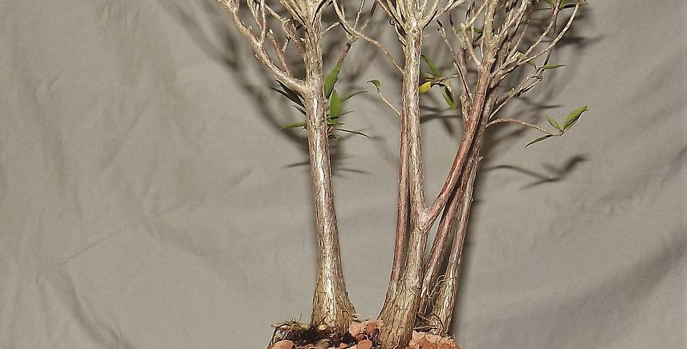 ficus nerifolia#511