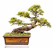 choosing a bonsai pot