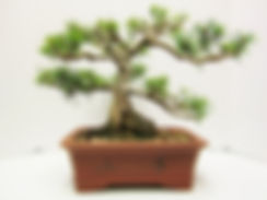 Mugo Pine For Sale