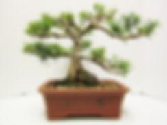 Mugo Pine For Sale