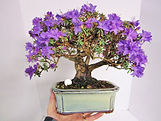 Impeditum dwarf rhododendron bonsai