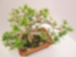 Mugo Pine Bonsai Myogi