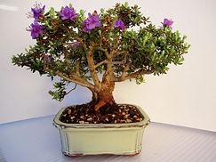 Impeditum Bonsai Tree Dwarf Rhododendron