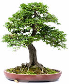 fruiting bonsai tree