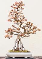 raised roots bonsai