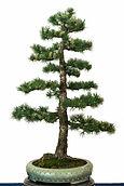 bonsai tree pinecones