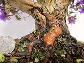 mature impeditum bonsai rhododendron