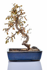 dieing sick bonsai help