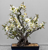 flowering crabapple bonsai