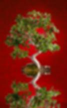 watering bonsai