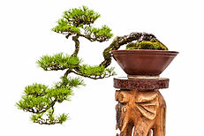 cascade pine tree bonsai