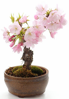 flowering cherry mame bonsai