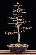 Japanese larch bonsai winter