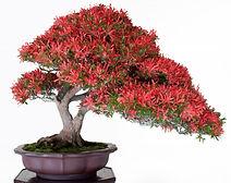 flowering azalea bonsai