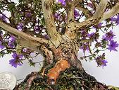 huge impeditum bonsai